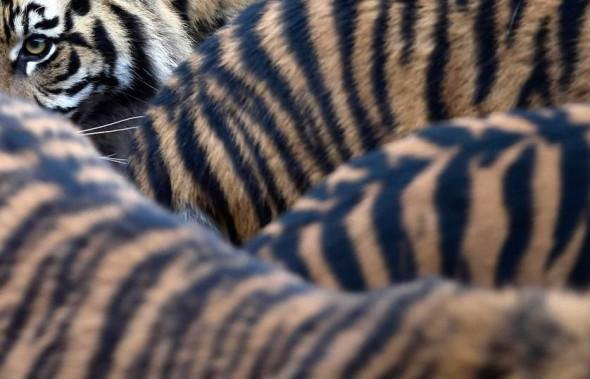 Sumatran tiger cubs and their parents walk around their enclosure at London Zoo in London