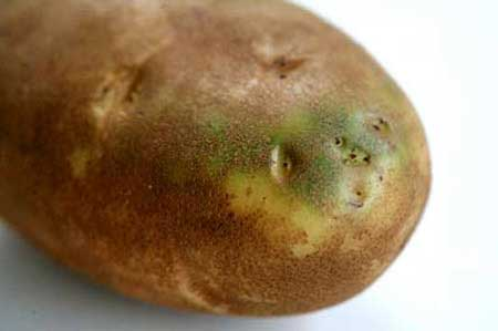 potato-solanin